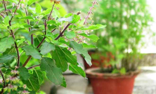 Tulsi Plants Health Benefits
