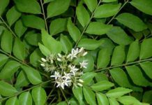 Curry Leaves Plant Tree