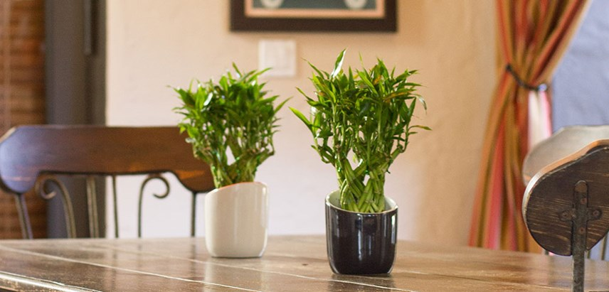 Bamboo House Plant Ideas