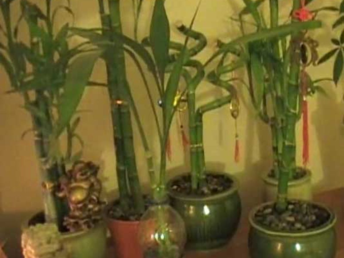 Vastu For Bamboo Plant Location Direction Useful Tips Decorchamp