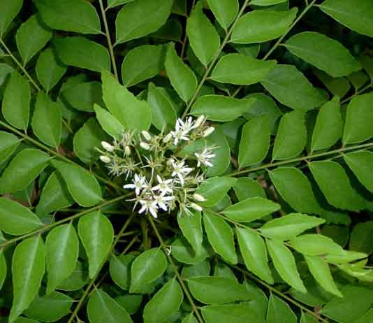 vastu shastra  curry leaves plants decorchamp