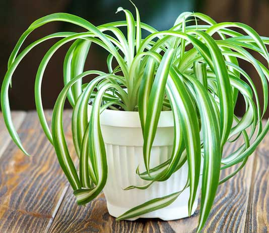 Spider Plants Benefits Types Indoor And Outdoor Growth Care Amp Guide